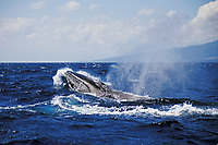 fin whale, Balaenoptera physalus, Azores Island, Portugal, North Atlantic