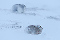 Two Mountain Hares (Lepus timidus) on snow, Cairngorms National Park, Scotland. January.