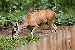 Deer graze through yards in the downtown area of Carson City, Nev., on Thursday, July 25, 2013. <br /> Photo by Cathleen Allison