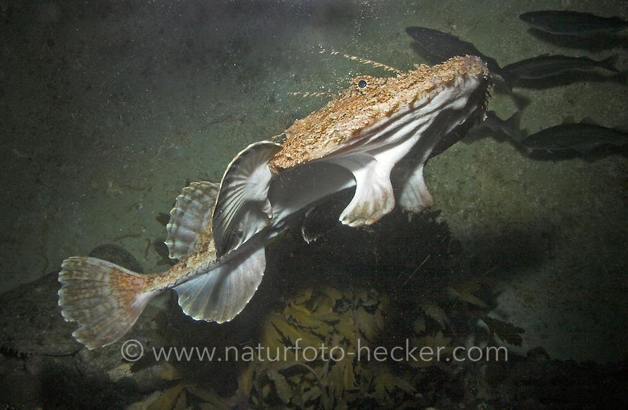 Atlantischer Seeteufel, See-Teufel, Angler, Lophius piscatorius, Atlantic angler fish, monkfish
