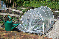 Vegetables in a cloche with green watering can in the garden at Kirk House, Chipping, Preston, Lancashire.