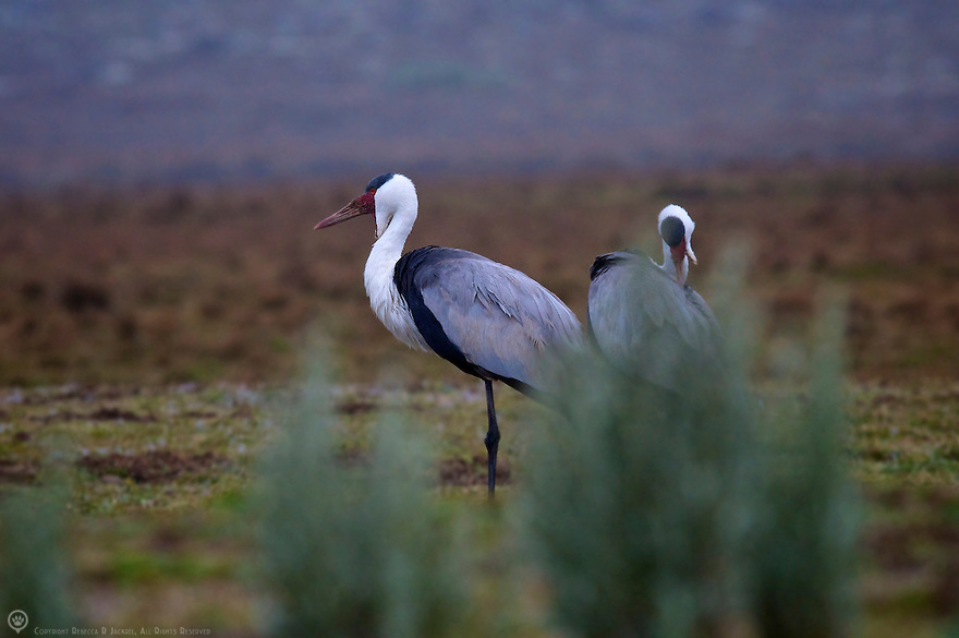 African Wattled cranes searching for tubers on the Sanetti Plateau.