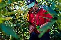 A Colombian farm worker cuts off the stem of an avocado fruit at a plantation near Sonsón, Antioquia department, Colombia, 21 November 2019. Over the past decade, the Colombian avocado industry has experienced massive growth, both as a result of general economic development in Colombia, and the increased global demand for so-called superfood products. The geographical and climate conditions in Antioquia (high altitude, no seasonal extremes, high precipitation rate) allow two harvest windows of the Hass avocado variety across the year. Although the majority of the Colombian avocado exports are destined towards Europe now, Colombia aspires to become one of the major avocado suppliers to the U.S. market in the near future.