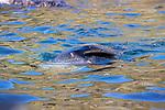 Fur Seal With Injuries, Elsehul Bay