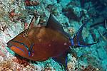 Balistes vetula, Queen triggerfish, Statia