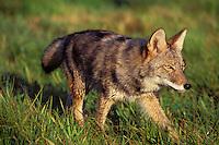 Coyote (Canis latrans) walking across moist meadow.  Sept.