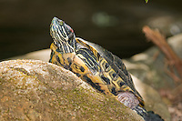 Red-eared slider, Trachemys scripta elegans. Captive at Zoo Ave, a zoo near San Jose, Costa Rica