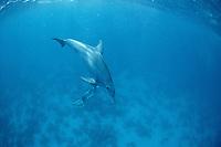 Dolphin, Bottlenose Dolphin, Tursiops truncatus, Red Sea, Underwater