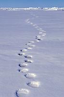 polar bear paw prints on ice, Ursus maritimus, Arctic, polar bear, Ursus maritimus