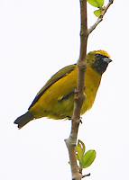 Female yellow-crowned euphonia