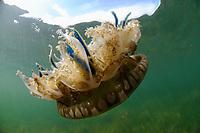 Mangrove upsidedown jelly fish, scientific name Cassiopea xamachana, off Key Largo, Gulf of Mexico, Florida Keys, USA, United States.