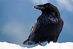Raven, Olympic National Park, Washington