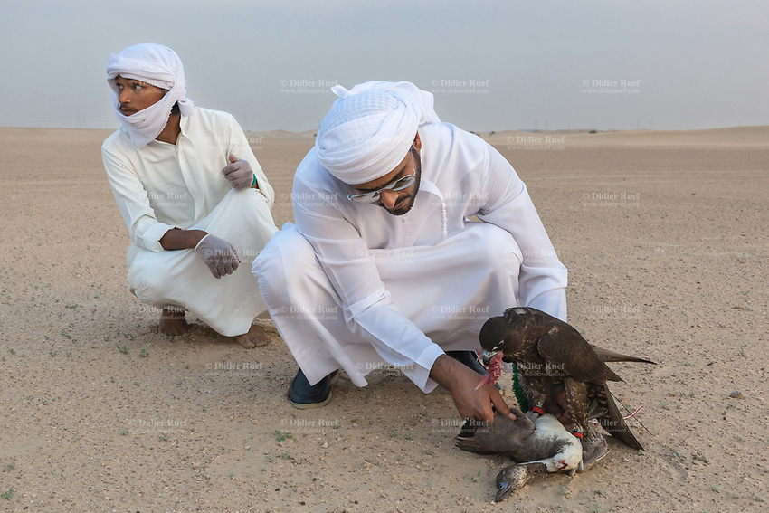 """United Arab Emirates (UAE). Dubai. Humaid Al Tayer (R) is a rich Emirati man with a passion for falcons. He is the owner of A&H Falcons which take parts in various falcons' competitions in the UAE. On a remote desert area, he kneels down close to his Gyr-Peregrine falcon. The dead duck was used as a prey tied on a rope and pulled by a remote controlled airplane. As part of daily training, the hawk flies behind the plane and tries to catch a prey tied on a rope. Once catched and back on the ground, the bird receives raw meat as reward. Humaid Al Tayer and his worker (L) control the bird eating. The animal does not receive duck meat because it is too fat. The falcon is following a strict diet in order to be a successful competitor. Both men wear the traditional white thobes. A thawb (thobe, dishdasha, kandora) is an ankle-length garment, usually with long sleeves, similar to a robe, kaftan or tunic, commonly worn in the Arabian Peninsula. The headdress is called ghutrah. The Gyr Peregrine falcon is a hybrid of the world's largest hawk, the Gyrfalcon and the third largest hawk, the Peregrine falcon. Falcons are birds of prey in the genus Falco, which includes about 40 species. Adult falcons have thin, tapered wings, which enable them to fly at high speed and change direction rapidly. Additionally, they have keen eyesight for detecting food at a distance or during flight, strong feet equipped with talons for grasping or killing prey, and powerful, curved beaks for tearing flesh. Falcons kill with their beaks, using a """"tooth"""" on the side of their beaks. The United Arab Emirates (UAE) is a country in Western Asia at the northeast end of the Arabian Peninsula. 22.02.2020  © 2020 Didier Ruef"""