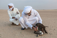"United Arab Emirates (UAE). Dubai. Humaid Al Tayer (R) is a rich Emirati man with a passion for falcons. He is the owner of A&H Falcons which take parts in various falcons' competitions in the UAE. On a remote desert area, he kneels down close to his Gyr-Peregrine falcon. The dead duck was used as a prey tied on a rope and pulled by a remote controlled airplane. As part of daily training, the hawk flies behind the plane and tries to catch a prey tied on a rope. Once catched and back on the ground, the bird receives raw meat as reward. Humaid Al Tayer and his worker (L) control the bird eating. The animal does not receive duck meat because it is too fat. The falcon is following a strict diet in order to be a successful competitor. Both men wear the traditional white thobes. A thawb (thobe, dishdasha, kandora) is an ankle-length garment, usually with long sleeves, similar to a robe, kaftan or tunic, commonly worn in the Arabian Peninsula. The headdress is called ghutrah. The Gyr Peregrine falcon is a hybrid of the world's largest hawk, the Gyrfalcon and the third largest hawk, the Peregrine falcon. Falcons are birds of prey in the genus Falco, which includes about 40 species. Adult falcons have thin, tapered wings, which enable them to fly at high speed and change direction rapidly. Additionally, they have keen eyesight for detecting food at a distance or during flight, strong feet equipped with talons for grasping or killing prey, and powerful, curved beaks for tearing flesh. Falcons kill with their beaks, using a ""tooth"" on the side of their beaks. The United Arab Emirates (UAE) is a country in Western Asia at the northeast end of the Arabian Peninsula. 22.02.2020  © 2020 Didier Ruef"