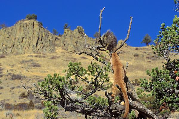 Mountain Lion or cougar (Puma concolor) hunting porcupine (Erethizon dorsatum).  Western U.S.