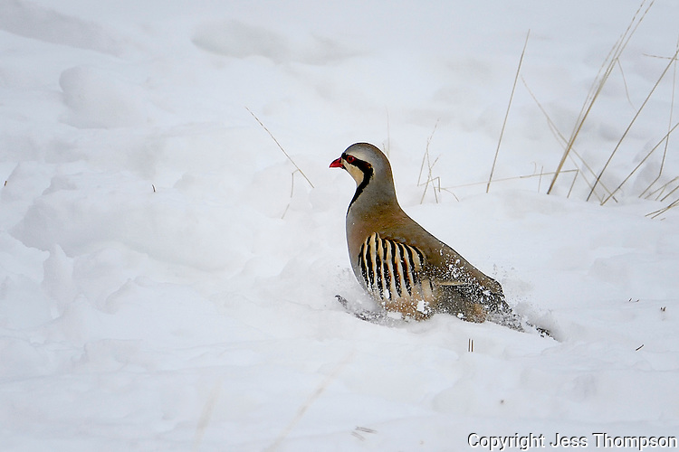 Chukar in snow, Cody, Wyoming