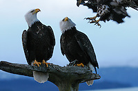 Two bald eagles look up as a third comes in for a landing at the Homer Spit in Alaska.