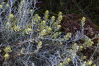 Castilleja hololeuca (syn. Castilleja lanata ssp. hololeuca) - Island Paintbrush flowering  in California native plant garden, Regional Parks Botanic Garden, Berkeley, California