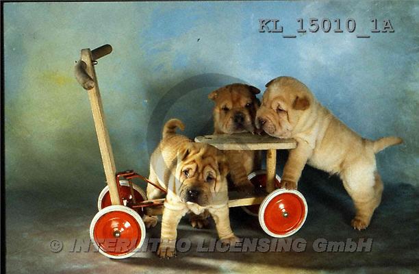 Interlitho, Alberto, ANIMALS, dogs, photos, 3 shar peis, cart(KL15010/1A,#A#) Hunde, perros