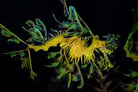 leafy seadragon, Phycodurus eques, captive