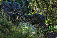 Stipa diegoensis San Diego Needlegrass, native grass flowering in sunlight Regional Parks Botanic Garden, Berkeley, California
