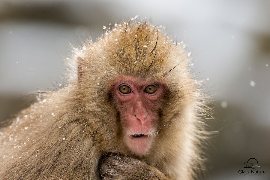 A closeup image reveals the texture and beauty of this Japanese Macaque's (Macaca fuscata) facial features.  This baby snow monkey and her Mom had just come down from the mountainside, and were readying to jump into the pool.  It was easily in the negative degrees F outside, but after this baby got in the water you couldn't tell the temperature around it was subzero.  Beautiful and staunch.<br /> <br /> Jigokudani-Yaen Snow Monkey Park, Nagano, Japan