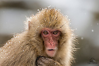 A closeup image reveals the texture and beauty of this Japanese Macaque's (Macaca fuscata) facial features.  This baby snow monkey and her Mom had just come down from the mountainside, and were readying to jump into the pool.  It was easily in the negative degrees F outside, but after this baby got in the water you couldn't tell the temperature around it was subzero.  Beautiful and staunch.<br />