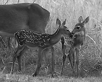Baby fawns in a show of mutual affection.