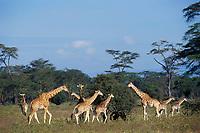 Rothchild's giraffe (Giraffa camelopardalis) kenya.