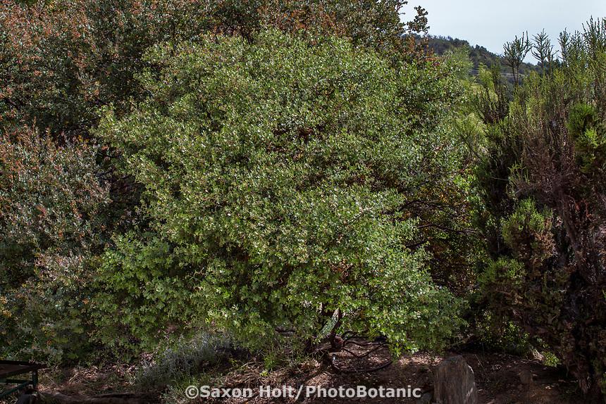 Arctostaphylos edmundsii 'Big Sur' evergreen California native shrub; Tree of Life Nursery