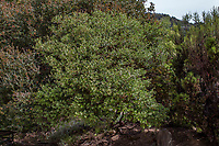 Arctostaphylos edmundsii 'Big Sur' evergreen California native shrub; Tree of Life Nursery