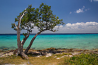 Tree on the coastline of the Bay of Pigs, Cuba
