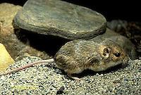 MU33-002z  Plains Pocket Mouse in SW Desert - Perognathus flavescens