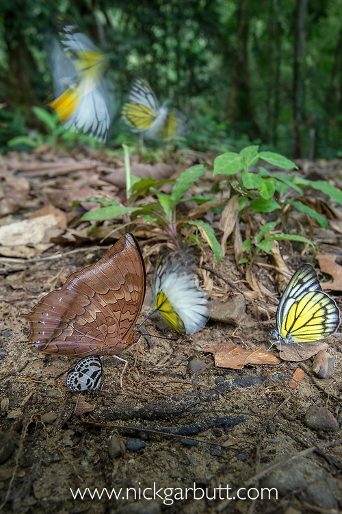 Aggregation of butterflies, mainly Bornean sawtooth (Prioneris cornelia) and Red brown / tawny rajah (Charaxes bernardus), taking minerals from damp area on rainforest floor. Temburong National Park, Brunei, Borneo.