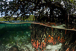 Tubastrea corals encrusted on mangrove roots in the shallows. North Raja Ampat, West Papua, Indonesia