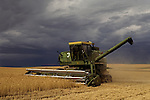 Combine in wheat field cutting wheat before storm hits, evening light, Eastern Washington State USA