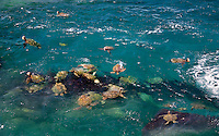 Green Sea Turtles (Chelonia mydas). Kauai coast, Hawaii
