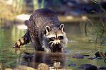 A thirsty raccoon, Washington