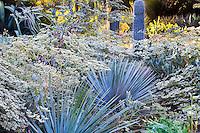 Eriogonum giganteum (St. Catherine's Lace ) with Hesperoyucca whipplei, California native plants in Bancroft Garden