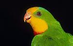 Superb Parrot (Vulnerable)<br /> Australia