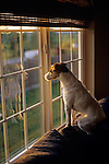 Jack Russell Terrier with alert expression on face looking out living room window.at sunet