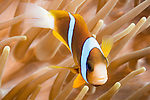 Great Barrier Reef, Australia; an orange-finned anemonefish swimming amongst it's host anemone