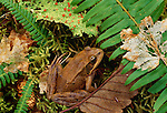 Red-legged frog, Hoh Rainforest, Olympic National Park, Washington