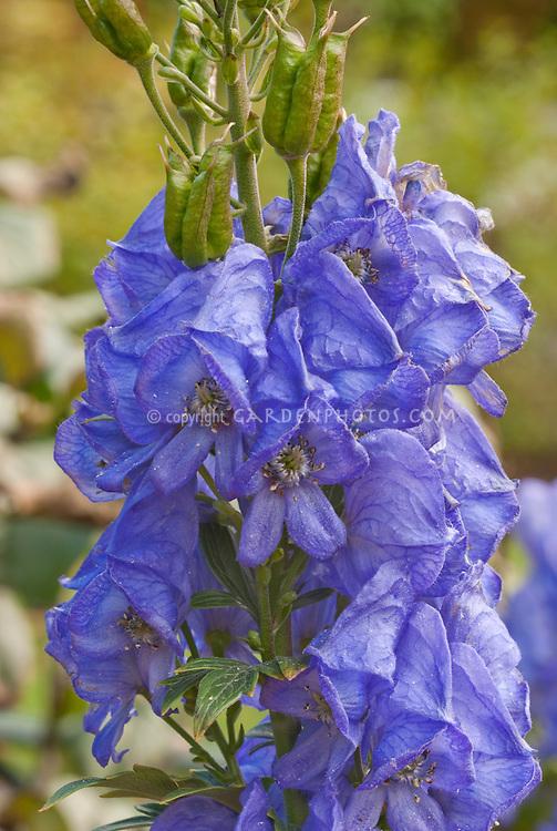 Aconitum carmichaelii 'Arendsii' in blue fall flower