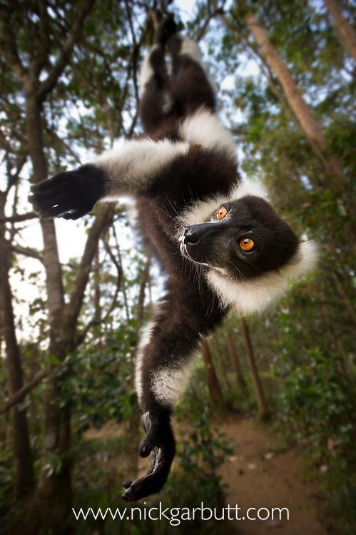 Adult Black & White Ruffed Lemur (Varecia variegata) in suspensory posture. Andasibe-Mantadia National Park, eastern Madagascar.