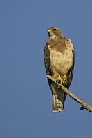 Swainson's Hawk perched in a tree