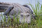 Damon, Texas; a close up view of a large, American alligator resting amongst the reeds on the bank of the slough at twilight