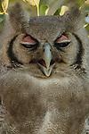 Verreaux's eagle-owl, Mashatu, Botswana