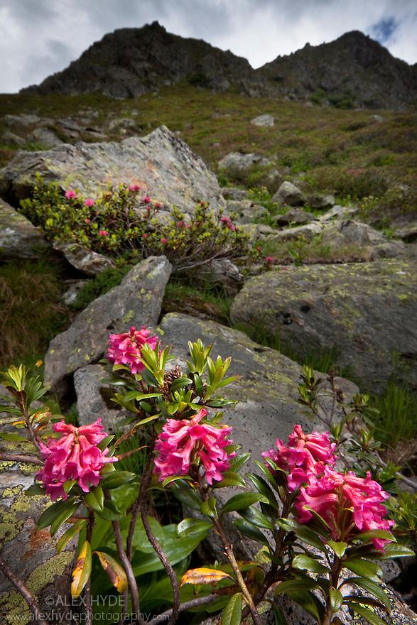 Alpenrose {Rhododendron ferrugineum} in flower. Nordtirol, Tirol, Austrian Alps, Austria, 2300 metres, July.