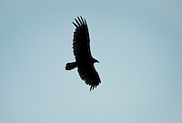 Turkey Vulture, Cathartes aura